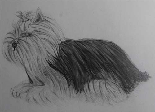 Yorkshire Terrier Hatching Drawing